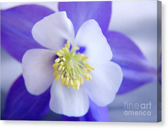 Canvas Print - Aquilegia by Julia Hiebaum