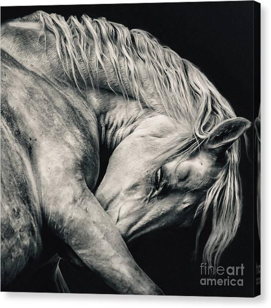 Arabian Beauty White Horse Portrait Canvas Print