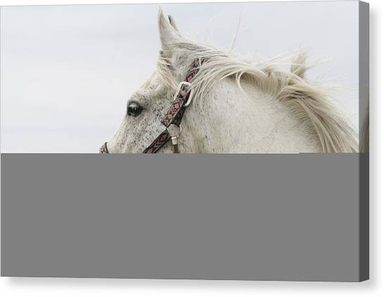 Arabian Horse Portrait Canvas Print by Laurie With