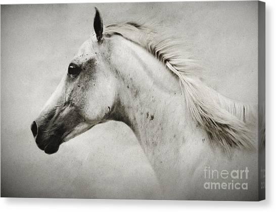 Arabian White Horse Portrait Canvas Print