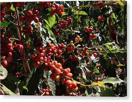 Coffee Plant Canvas Print - Arabica Coffee  by Aidan Moran