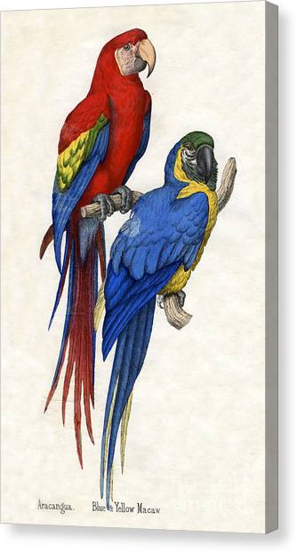 Macaws Canvas Print - Aracangua And Blue And Yellow Macaw by American School