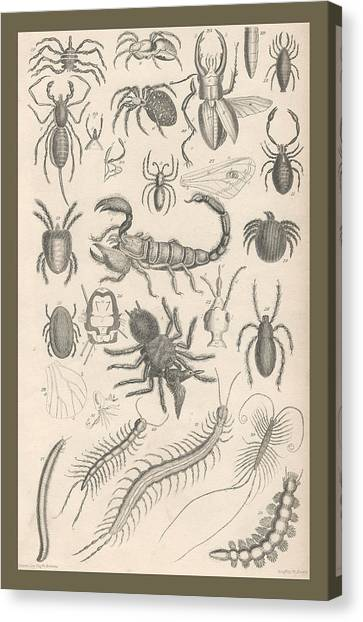 Millipedes Canvas Print - Arachnides. Myriapoda by Dreyer Wildlife Print Collections