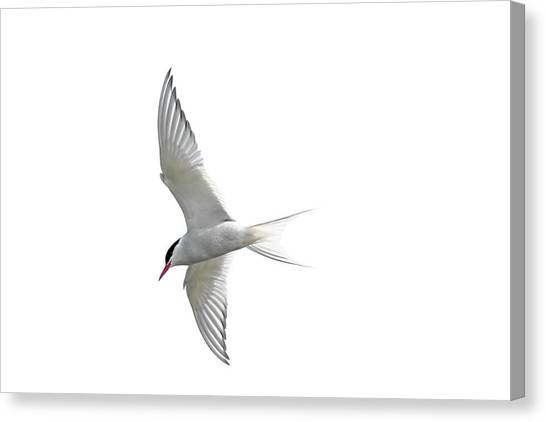 Arctic Tern Flying In Mist Canvas Print