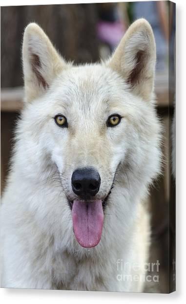 Arctic Wolf Canvas Print - Arctic Wolf by Eddie Yerkish