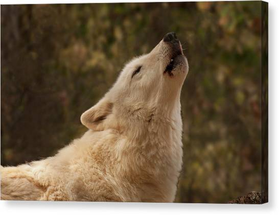 Arctic Wolf Canvas Print - Arctic Wolf Howling by Chris Flees