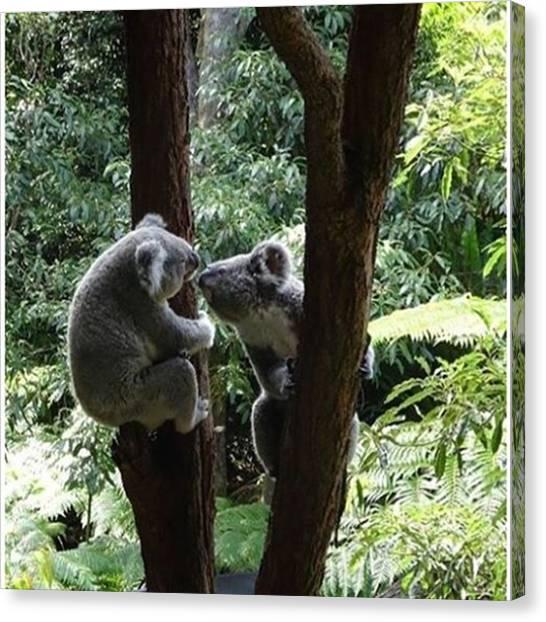 Koala Canvas Print - Are They Kissing? #koalas #cutie by Kevin Liu