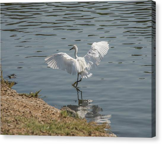 Are You Ready To Dance - Great Egret In Mtn View Ca Canvas Print