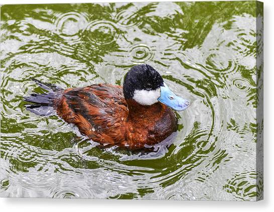 Argentine Ruddy Duck Canvas Print