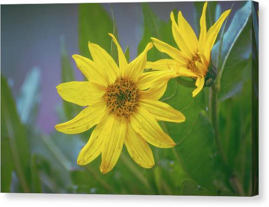 Canvas Print featuring the photograph Arrowleaf Balsamroot by Jason Coward