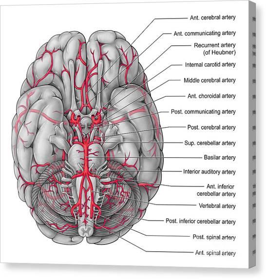 Anterior Cerebral Artery Canvas Prints Page 2 Of 2 Fine Art America