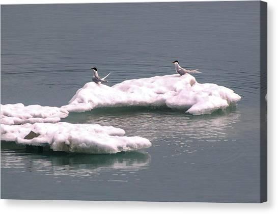Arctic Terns On A Bergy Bit Canvas Print