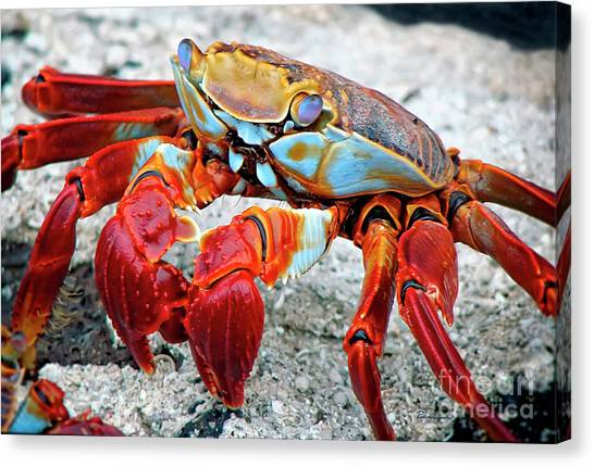 Artistic Nature Red And Blue Rainbow Crab 908 Canvas Print