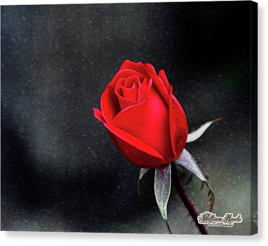Canvas Print featuring the photograph Artists Red Rose by William Havle