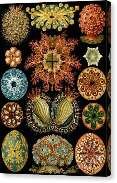 Zoology Canvas Print - Ascidiae by Ernst Haeckel