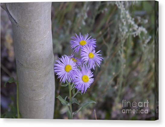 Aspen Asters  Canvas Print by Michael Shaft