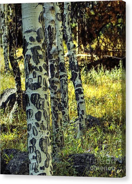 Aspen Bark Canvas Print