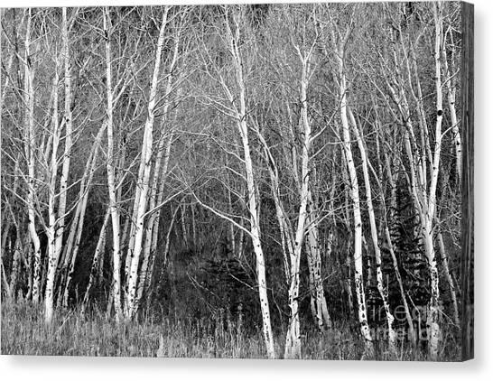 Aspen Forest Black And White Print Canvas Print