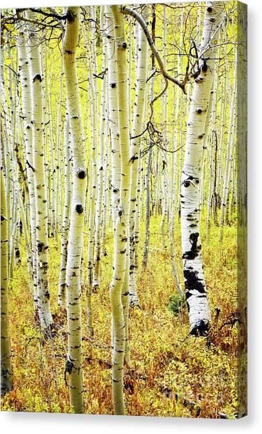 Canvas Print featuring the photograph Aspen Grove by Scott Kemper