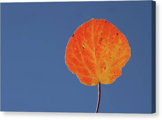 Aspen Leaf 1 Canvas Print