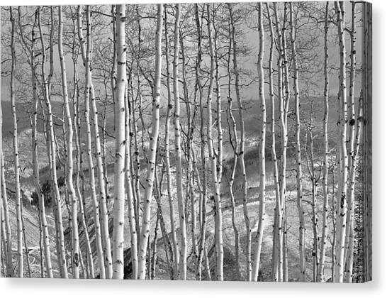Aspen Stand In Black And White Canvas Print