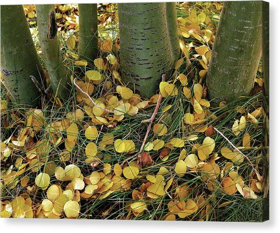 Aspen Tree Boles In Leaves Canvas Print