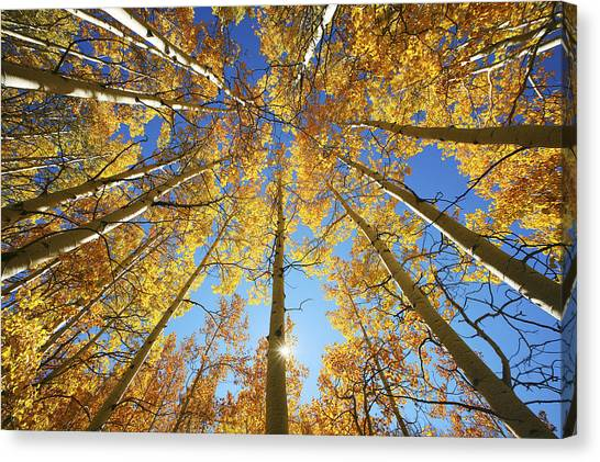 Orange Tree Canvas Print - Aspen Tree Canopy 2 by Ron Dahlquist - Printscapes