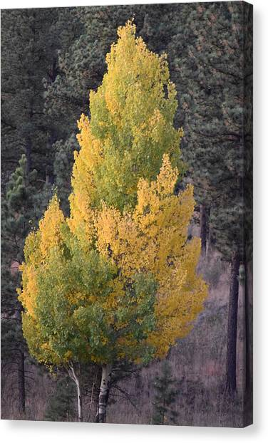 Aspen Tree Fall Colors Co Canvas Print