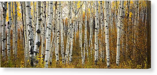 Aspen Tree Grove Canvas Print