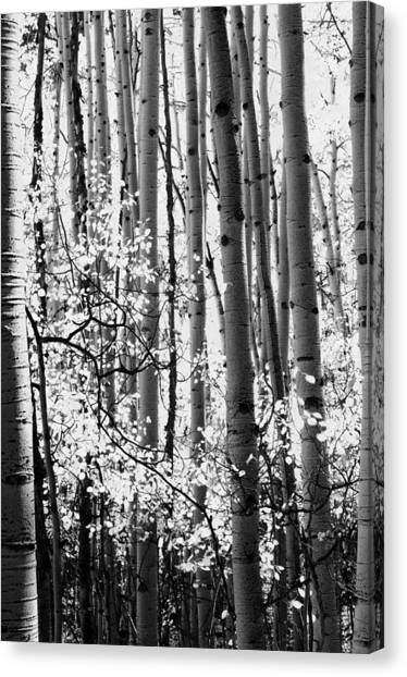 Aspen Trees Black And White Canvas Print