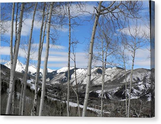 Aspen Trees In Snowmass Canvas Print