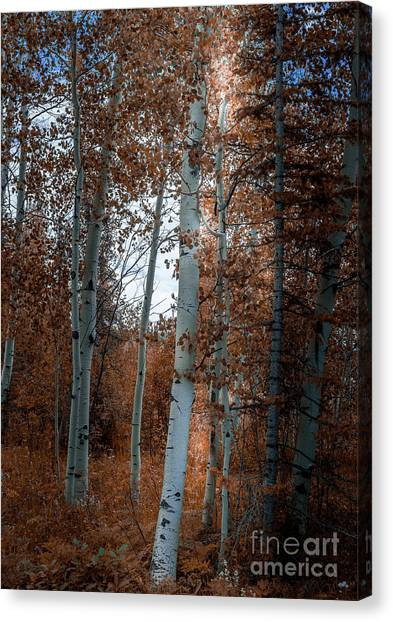 Aspen Trees Ryan Park Wyoming Canvas Print