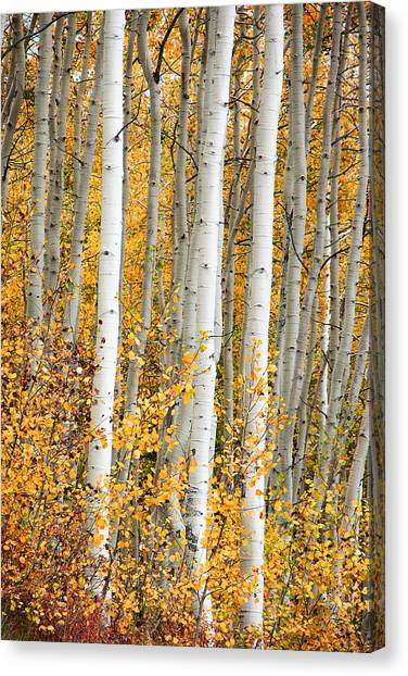 Aspen With Fall Color Canvas Print by Dori Peers