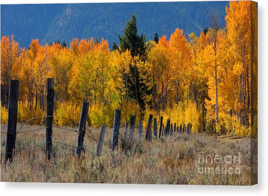 Aspens And Fence Canvas Print