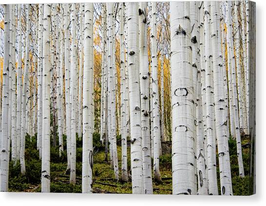 Aspens And Gold Canvas Print