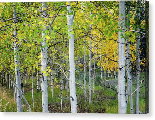 Nm Canvas Print - Aspens In Autumn 6 - Santa Fe National Forest New Mexico by Brian Harig