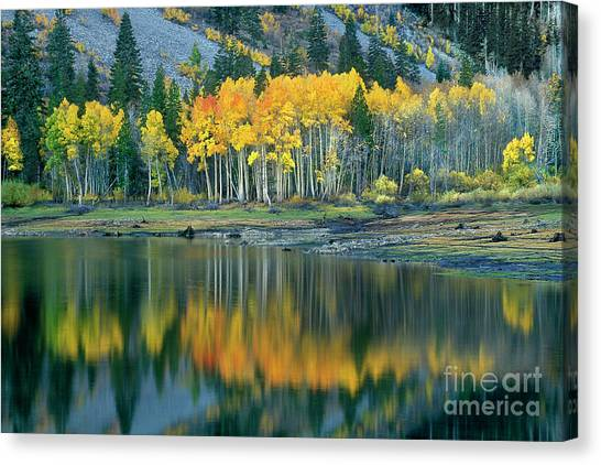 Aspens In Fall Color Along Lundy Lake Eastern Sierras California Canvas Print