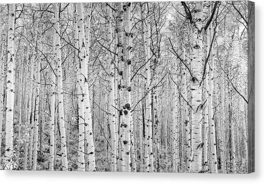 Aspens In High Key Canvas Print