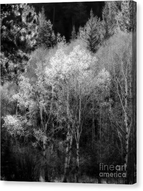 Aspens In Morning Light  For Traci Canvas Print