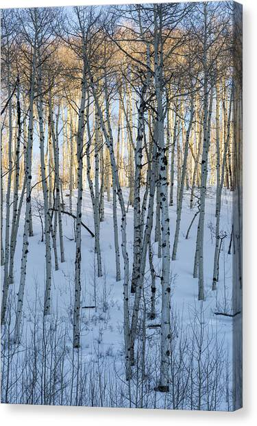 Aspens In Shadow And Light Canvas Print