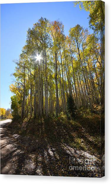 Canvas Print featuring the photograph Aspens In The Fall by Kate Avery