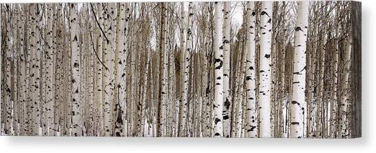 Colorado Rockies Canvas Print - Aspens In Winter Panorama - Colorado by Brian Harig