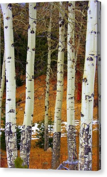 Aspens Of White Canvas Print