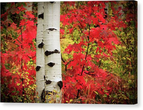 Aspens With Red Maple Canvas Print