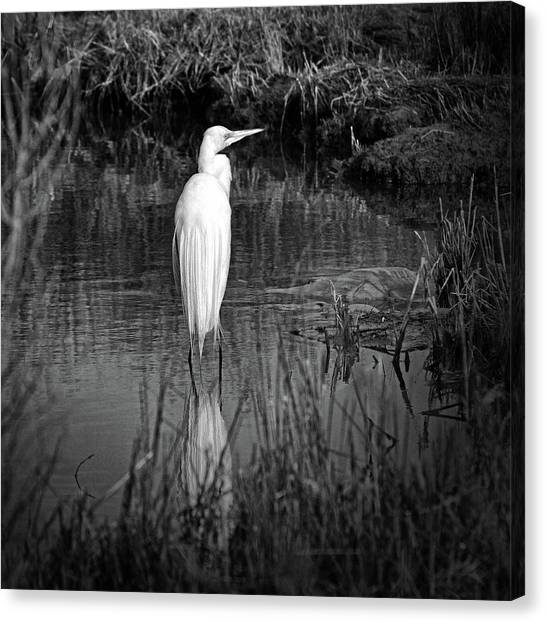 Assateague Island Great Egret Ardea Alba In Black And White Canvas Print