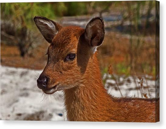 Assateague Island Sika Deer Fawn Canvas Print