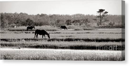 Maryland Horses Canvas Print - Assateague by Olivier Le Queinec