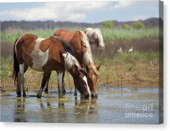 Assateague Ponies Tale Drink Canvas Print
