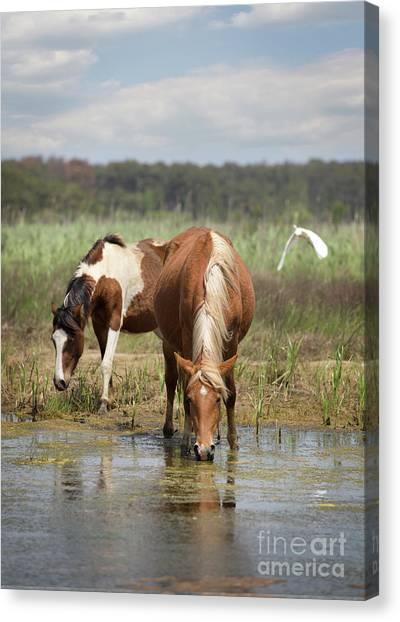 Assateague Pony Pair Canvas Print