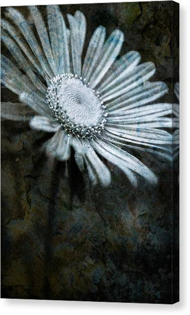 Aster On Rock Canvas Print